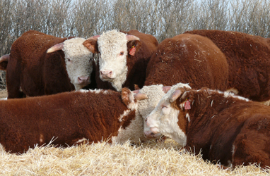 Bunch o' Bulls for Sale - Feb 23rd!
