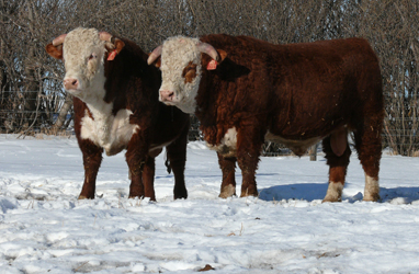 Sale Bull Duo - for sale Feb 20th!