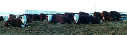 2020 lazin' sale bulls P2530869